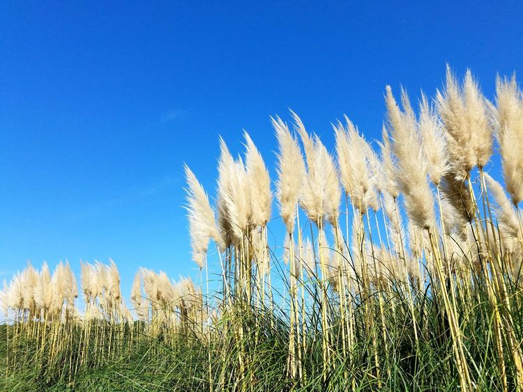 Growth Nature Field Blue Plant No People Clear Sky Sky Day Outdoors Pampas Grass Environment Season  Autuman