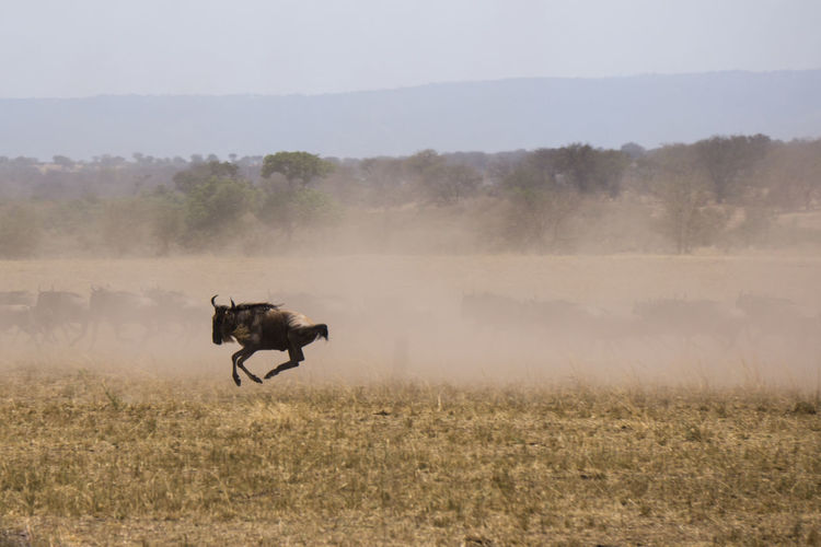 Wildebeest running on grassy field against sky
