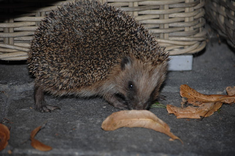 Animal Animal Nose Animal Themes Animals In The Wild Curiosity Day Domestic Animals Eating Exploring New Ground Front View Hedgehog Little One Mammal New Friend In My Garden! No People One Animal Outdoors Selective Focus Structure Wildlife Zoology