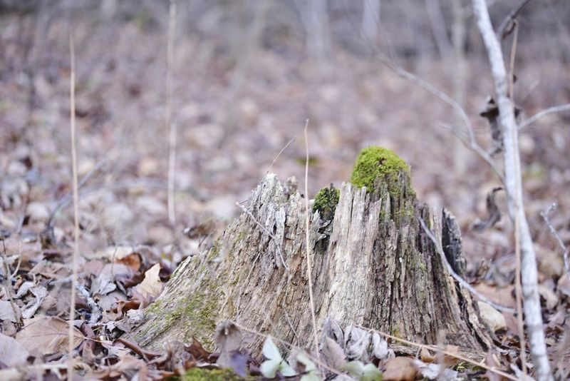Moss on tree stumo in forest Nature Day Outdoors Pinaceae No People Focus On Foreground Pine Tree Close-up Forest Plant Tree Beauty In Nature Background Room For Text Room For Copy The Way Foward Backgrounds Bradley Olson Bradleywarren Photography Galena, Illinois Copy Space Grasses Forest Path Moss Mossy Tree