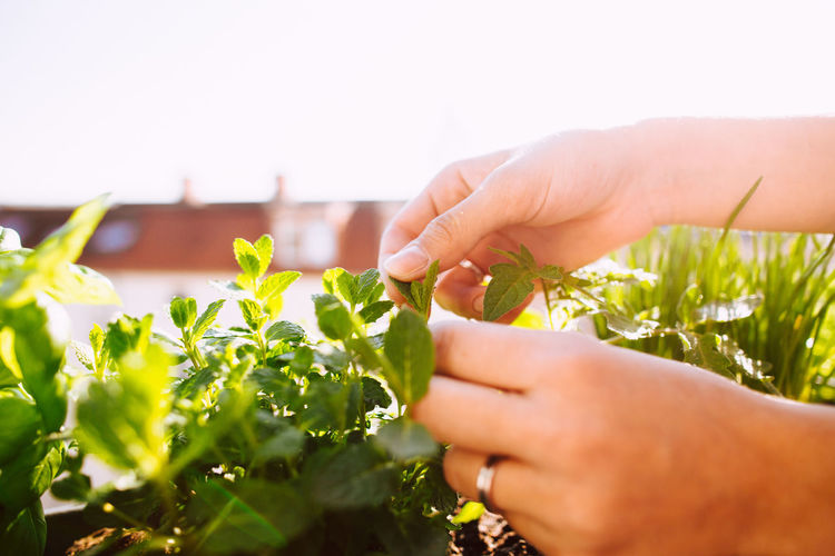 Cropped hands of woman plucking leaves from plant