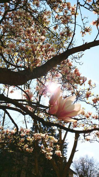 Magnolia in spring Magnolia Magnolia Tree Magnolia_Blossom Nature Nature Photography Naturelovers Blossoms  Spring Sun Sky Frühling Printemps Ciel Himmel Natur Blüten Blühen Baum Frühjahr Showcase April April