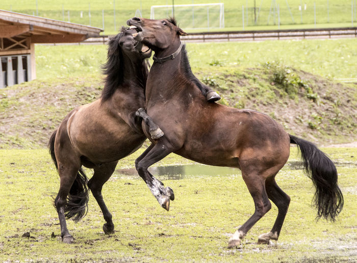 two wild stallions fight on the way Mammal Domestic Animals Domestic Pets Vertebrate Day Animal Wildlife No People Stallions Wildlife Figthing Horses Horseshoe HORSE TEETH Biting Meadow Animal Themes Animal Horse Livestock Grass Two Animals Group Of Animals Field Plant Land Nature Running Outdoors Herbivorous