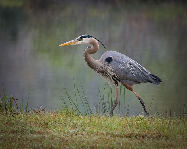 Blue heron looking for fish Naturelovers Bird Water Grass Great Blue Heron Wetland Freshwater Bird