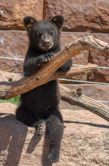 Black bear cub sitting Black Black Bear Bear Bear Cub Black Bear Cub Sitting Bear Cub