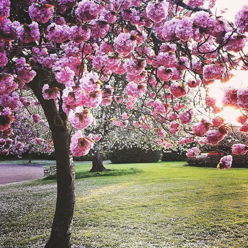 Hanging Out Check This Out Hello World Relaxing Pink Flowers Tree Flowers TreePorn Trees And Sky Trees Grass Flowers Tree Porn... Skyporn Sunset Pretty Tree Porn Tree_collection  Sun Beautiful Sunset Beautiful ♥ Beauty In Nature Cherryblossom Cherry Blossom Petal Carpet Hanging Out
