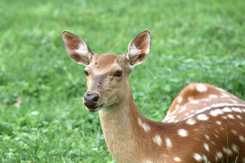 Sika deer / Cervus nippon Cervus Nippon Hello World SIKA Walking Around Animal Animal Head  Animal Themes Animal Wildlife Animals In The Wild Deer Ears Focus On Foreground Grass Green Color Herbivorous Looking At Camera Mammal Nature Nature_collection One Animal Outdoors Portrait Sika Deer Vertebrate