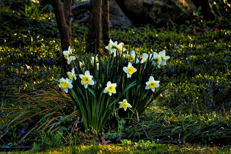 Late in the day Flower Flowering Plant Plant Beauty In Nature Nature Yellow Flower Head Grass No People Field White Color Spring Flowerbed Daffodils