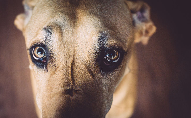 Blurred Brown Closeup Dog Expression Eyes Fur Looking Thunder Bay