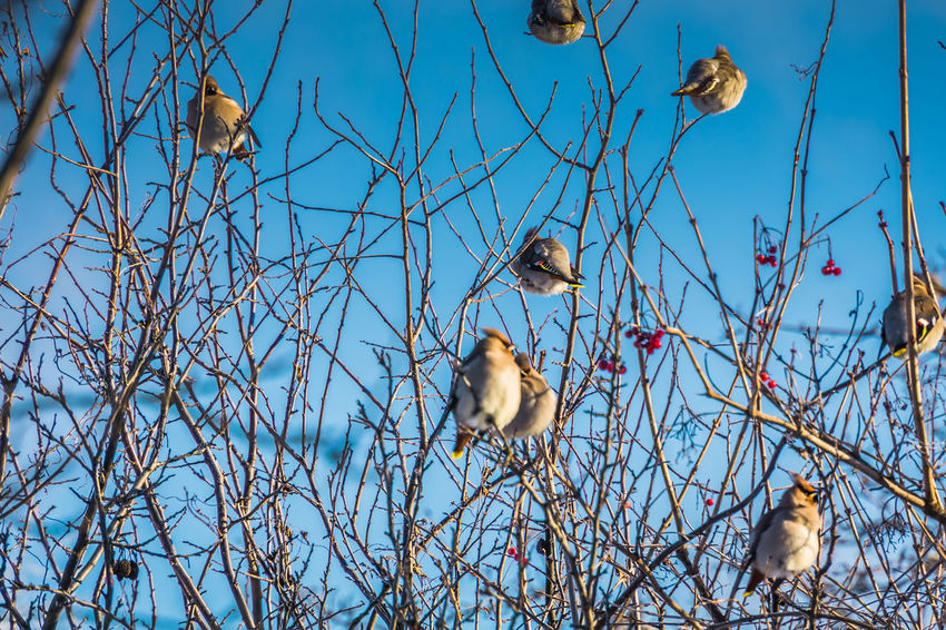 Wintertime Animal Animal Family Animal Themes Animal Wildlife Animals In The Wild Bare Tree Beauty In Nature Bird Blue Branch Day Group Of Animals Nature No People Perching Plant Tree Two Animals Vertebrate Waxwing Waxwings Young Animal