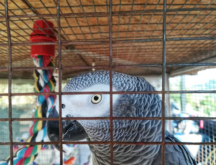 Gray parrot in a cage Psittacus Erithacus Talking Animal Yellow Eyes Plumage Beak Gray Parrot Aviary Bird Trapped Cage Close-up Birdcage Captive Animals Animals In Captivity Metal Grate Parrot