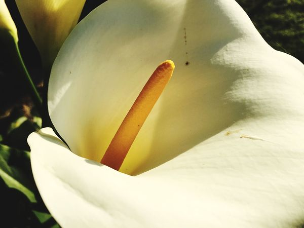 Flower Fragility Beauty In Nature Growth Freshness Petal Nature Flower Head White Color Close-up Plant Blooming Outdoors No People Day Calas Flores Nature EyeEm Nature Lover