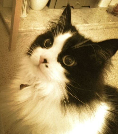 18 1/2 years old. Love my cat ❤ Pets Feline Portrait Domestic Cat Whisker Looking At Camera Alertness Close-up