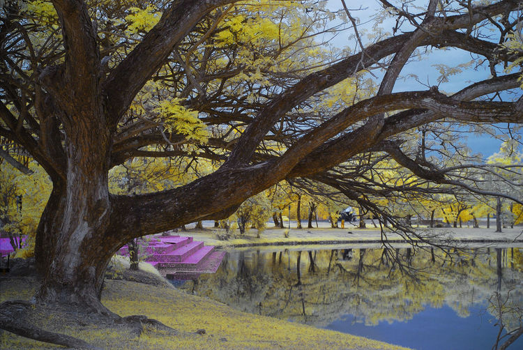 An infrared view of a lakeside with large tree and yellow foliage. Blue Lake Infrared Architecture Bare Tree Beauty In Nature Blue Sky Branch Built Structure Color Infrared Day Infrared Photograpy Lakeside Landscape Landscapes Nature No People Outdoors Scenics Tranquility Tree Water Yellow Foliage