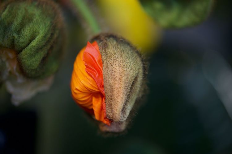 Flower Flowering Plant Plant Beauty In Nature Close-up Freshness Fragility Vulnerability  Inflorescence Flower Head Petal Growth Focus On Foreground No People Orange Color Nature Day Selective Focus Outdoors Poppy Poppy Flower Closeup
