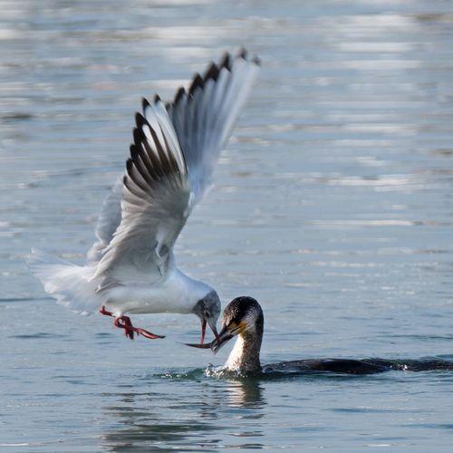 Seagull and cormorant Vilanova I La Geltru Cormoran Seagull Nature Animal Animals In The Wild Animal Wildlife Animal Themes Vertebrate Bird Flying