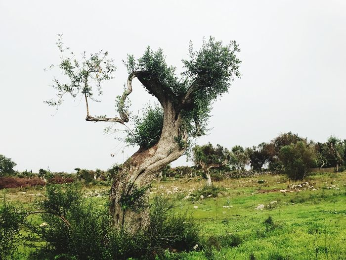 Postcode Postcards Tree Nature Field Landscape Grass Beauty In Nature Clear Sky Growth Green Color Day Tranquil Scene Tranquility No People Dead Tree Sky Olive Tree Xylella Salento Postcode Postcards EyeEmNewHere Perspectives On Nature