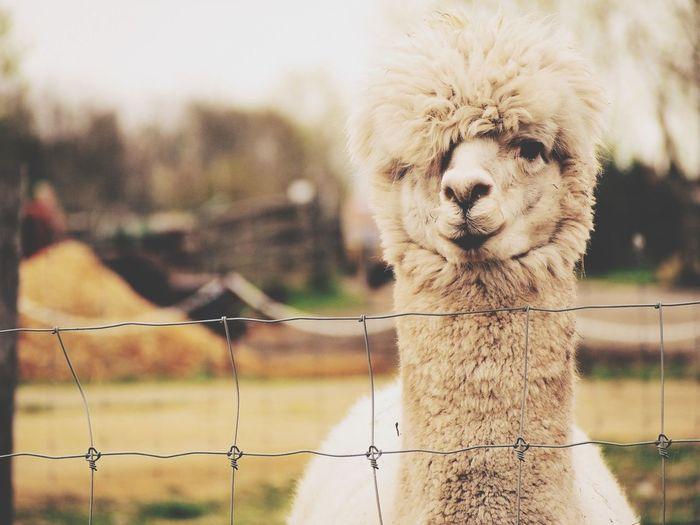 Portrait of cute alpacas on field