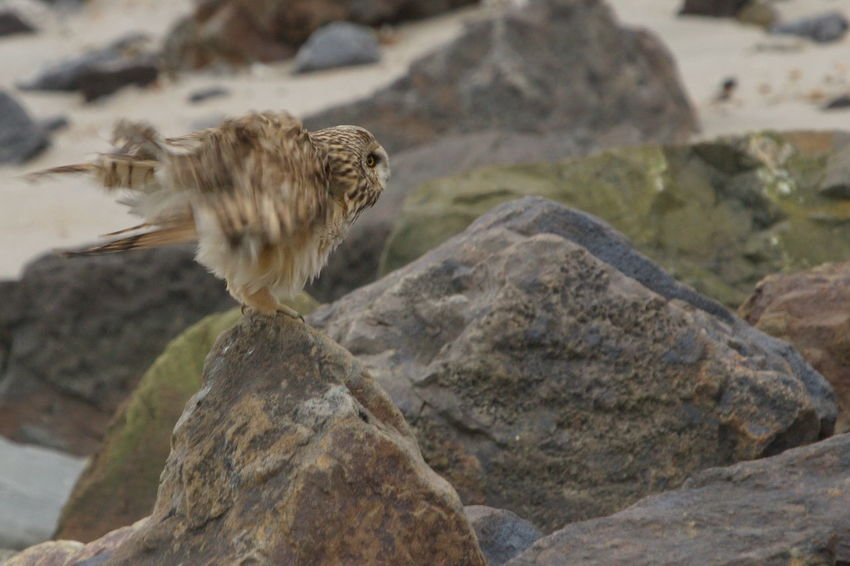 Beauty In Nature Bird Of Prey Maasvlakte2 Owl Rock Rock - Object Short Eared Owl Velduil