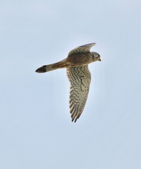 Falcon. Hunting. 3629466