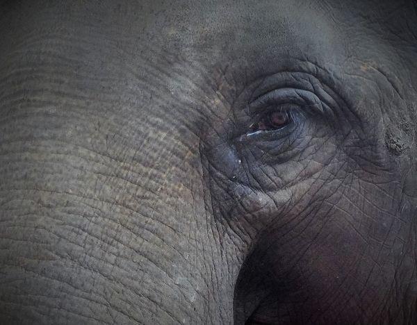 save the elephant #Eyes #wildlife Animal Body Part Animal Eye Animal Themes Animals In The Wild Asian Elephant Close-up Day Elephant Mammal No People