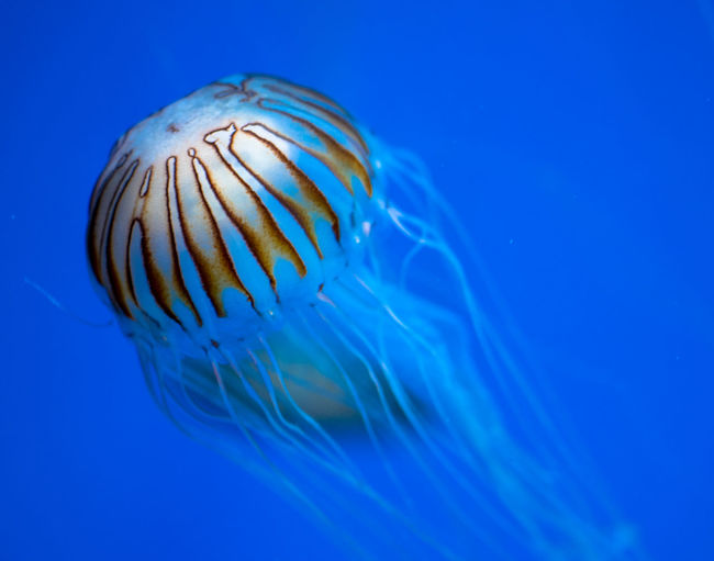 Animal Wildlife Underwater Blue Sea Water Sea Life Jellyfish UnderSea Swimming Animal Themes Blue Background