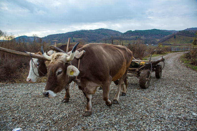 Maramures Romania Animal Themes Cloud - Sky Cow Day Domestic Animals Field Livestock Mammal Mountain Nature No People Outdoors Oxen Sky