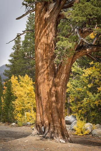 Sequoia Redwood Tree Tree Plant Nature Tree Trunk Trunk Forest No People Outdoors Beauty In Nature Autumn Branch Scenics - Nature WoodLand Giant Redwood Tree Autumn colors Aspen Trees Vertical Composition Landscape