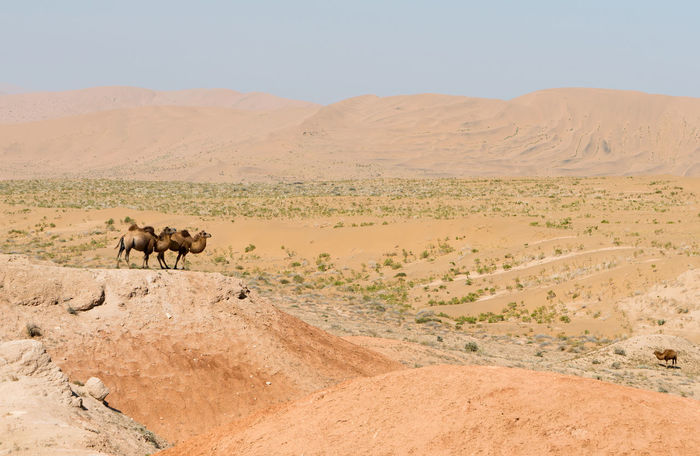 A lone pair of Bactrian camels survey the dunes in the Badain Jaran Desert Animal Themes Animals In The Wild Arid Climate Bactrian Camel Badain Jaran Desert Beauty In Nature Camel Day Desert Desert Desert Landscape High Resolution Landscape Mammal Nature No People Outdoors Sand Sand Dune Scenics Sky