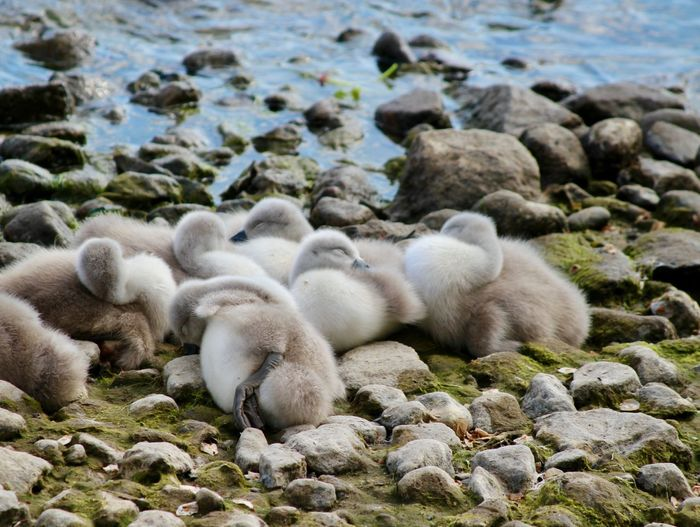Bird Photography Animal Animal Family Animal Themes Animal Wildlife Animals In The Wild Cygnet Day Group Of Animals Lake Large Group Of Animals Mammal Nature Newly Born Pebble Relaxation Rock Solid Vertebrate Water Young Animal Young Bird
