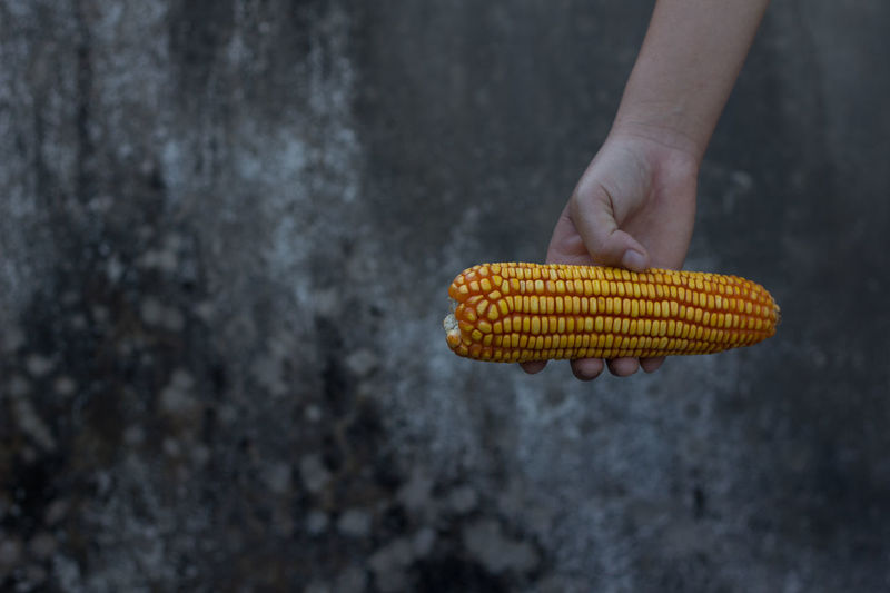 Cropped Hand Of Person Holding Sweetcorn Against Wall