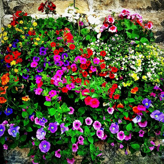 Colourful summer annuals Flower Beauty In Nature Green Color No People Full Frame Growth Nature Day Backgrounds Plant Fragility Leaf Outdoors Freshness Multi Colored Close-up Flower Head Garden Photography Gardening Container Gardening