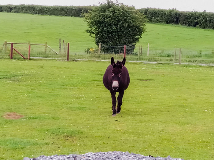 Full length of a horse on field