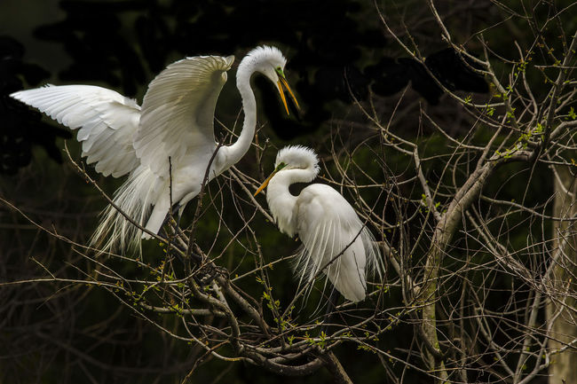 Animal Themes Animal Wildlife Animals In The Wild Beak Bird Day Egret Egret Courting Great Egret Heron Nature No People Outdoors Spread Wings White Color