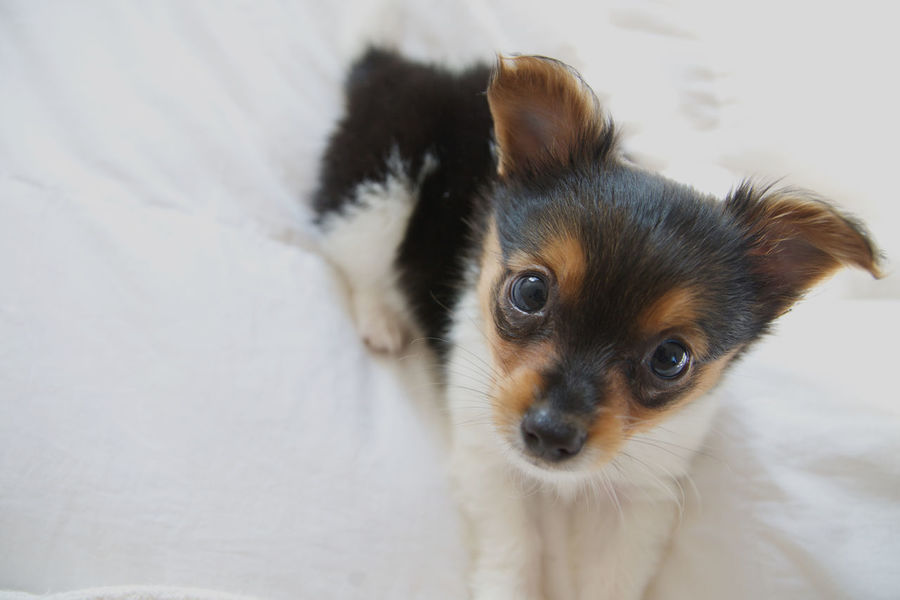 Puppy Sees You #3 Cute Pets Papillion Mix Papillion, Dog, Cute, Precious, Furry Animal Themes Close-up Companion Pet Cute Dog Face Cute Puppy Day Dog Domestic Animals Home Interior Indoors  Looking At Camera Mammal No People One Animal Pets Portrait Puppy Puppy Face Puppy Love ❤
