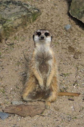 Zoo Day Looking Looking At Camera Mammal Meerkat Nature No People One Animal Portrait Sitting Vertebrate Zoology