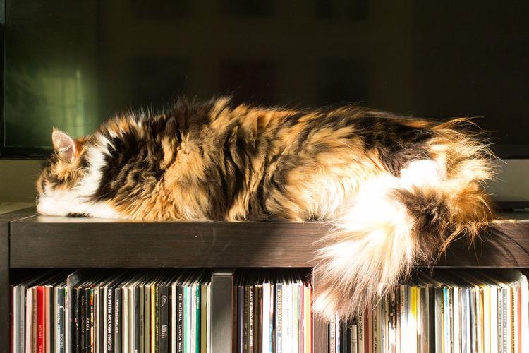 Close-up of tortoiseshell cat lying on shelf against mirror
