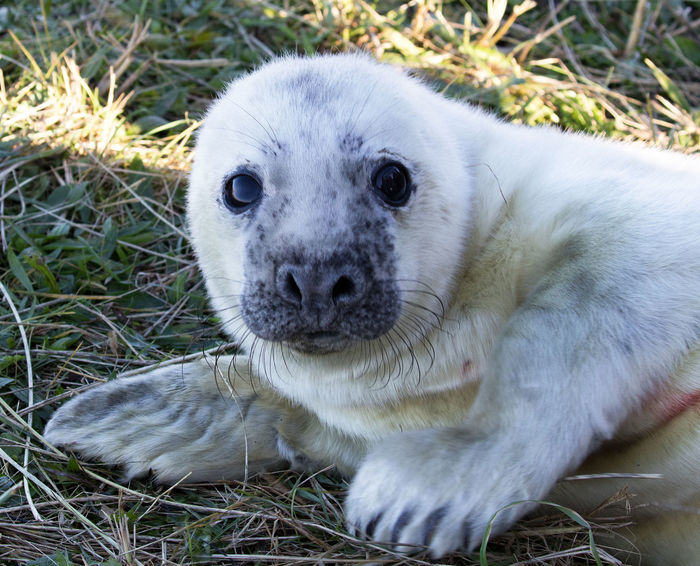 Seal Pups at Dona Nook Animal Themes Animal Wildlife Animals In The Wild Baby Seal Close-up Day Grass Gray Seal Looking At Camera Mammal Nature No People One Animal Outdoors Portrait