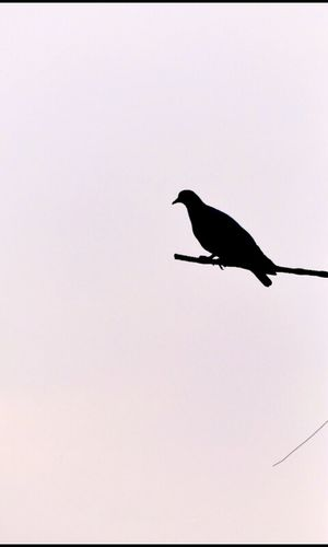 ALONe....... One Animal Bird Animals In The Wild Animal Themes Flying Animal Wildlife No People Songbird  Day Beauty In Nature Nature Sky Sharp Animals In The Wild Macro Evening Sky Close-up Beauty In Nature Close Up Nature Pigeon Bird  Focus Object Old But Awesome Blackday Purity Outdoors