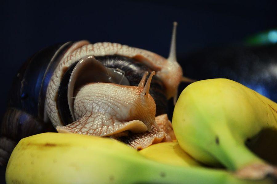 Pet Portraits Snail Snail🐌 Snails Snails🐌 Achatina Achatina Fulica Banana 😚 Snail Collection Snail Photography Pets Photography