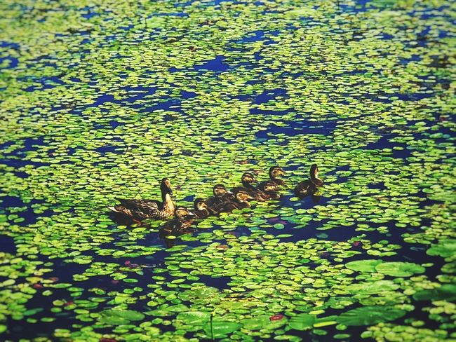 Mother Duck & her Ducklings at Arcade Pond Green Color Nature Water Leaf Plant Plant Part Day No People Floating On Water Beauty In Nature Floating Sunlight High Angle View Lake Animal Themes Outdoors Leaves Growth Animal Full Frame
