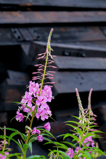 Fireweed is