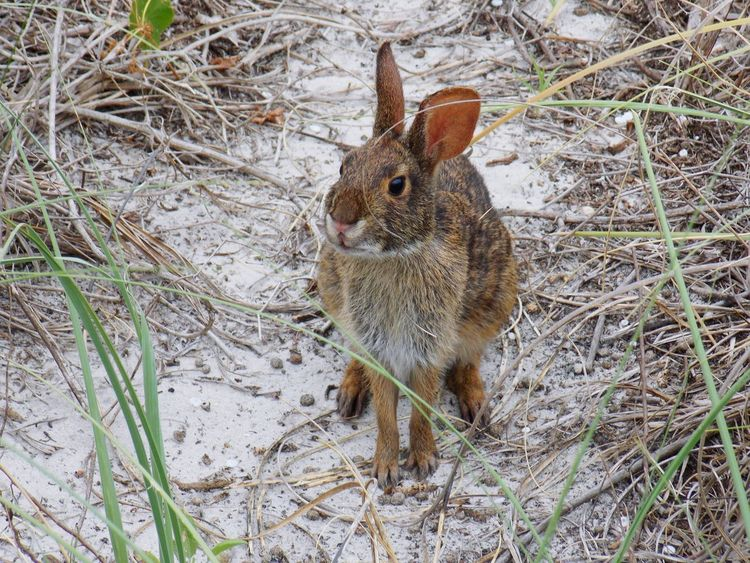 Animal Themes One Animal Grass Nature No People Day Outdoors Looking At Camera Animals In The Wild North Carolina Tranquil Scene Northcarolina Nature NorthCarolinaShores Wrightsville Beach Sand Beach Sand Dune Grass Rabbit Rabitt In Background Rabit Hole