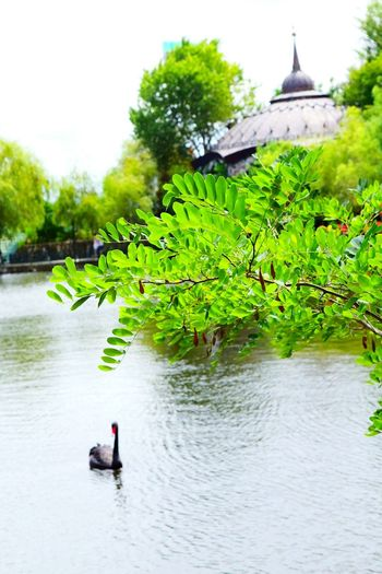 Water Tree Nature Swan Palace Beauty In Nature My Photography
