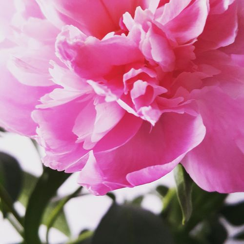 Flower Nature Day Top Followme Reshasuper Freedom Nature Petal Beauty In Nature Pink Color Plant Fragility Close-up No People Flower Head Growth Outdoors Peony  Freshness