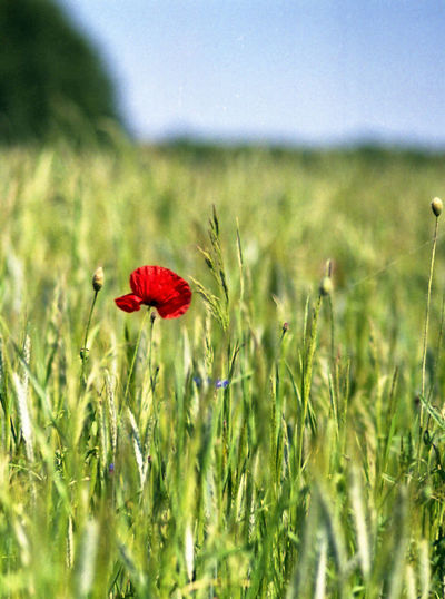 Nature Nature, Flowers, Grass, Sky, Blue, Red, Yellow, Green