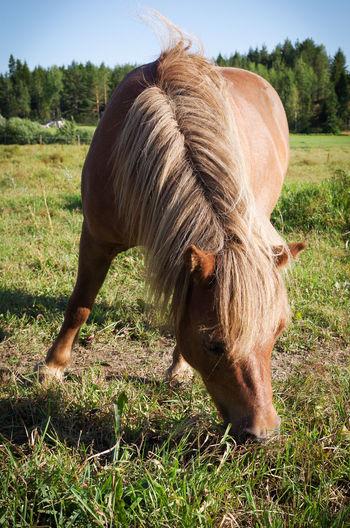 Animal Animal Hair Chestnut Equine Grazing Grazing Horse Mane Pony Shetland Pony