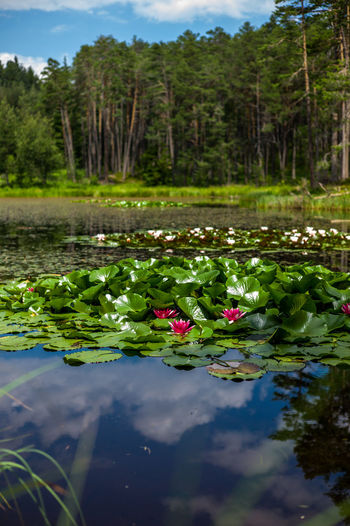 Bergsee Teich Ritten Beauty In Nature Close-up Day Floating On Water Freshness Green Color Growth Leaf Lily Pad Lotus Water Lily Nature No People Outdoors Pond Reflection Scenics Seerosen Tranquility Tree Water Water Lily