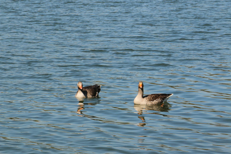 Geese Animal Family Animal Themes Animal Wildlife Animals In The Wild Beauty In Nature Bird Day Lake Nature No People Outdoors Swimming Togetherness Two Animals Water Water Bird Waterfront Young Animal Young Bird