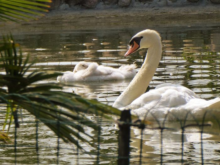Italy🇮🇹 Verona Animals In The Wild Swan Animal Themes Bird Lake Swimming Water One Animal Nature Day Water Bird Animal Wildlife No People Beak Outdoors Close-up Mother Swan With Her Baby Swans On The Lake Young Animal Babyswans Peacefull Bird Fresh On Eyeem  Togetherness